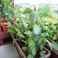 Konec úrody i na balkónech