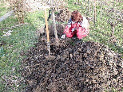 vykopání staršího stromu