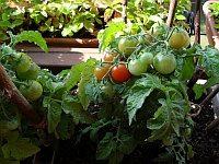 Balkonová rajčata už dozrávají